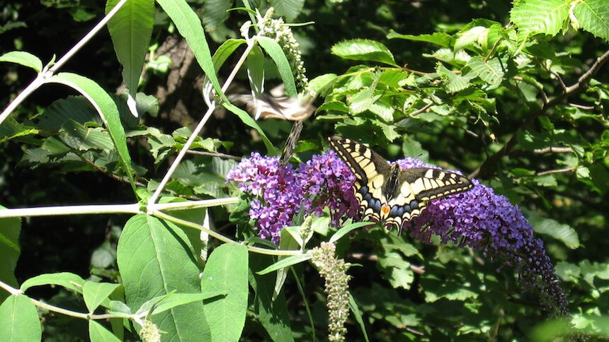 Buddleja is a favourite with butterflies