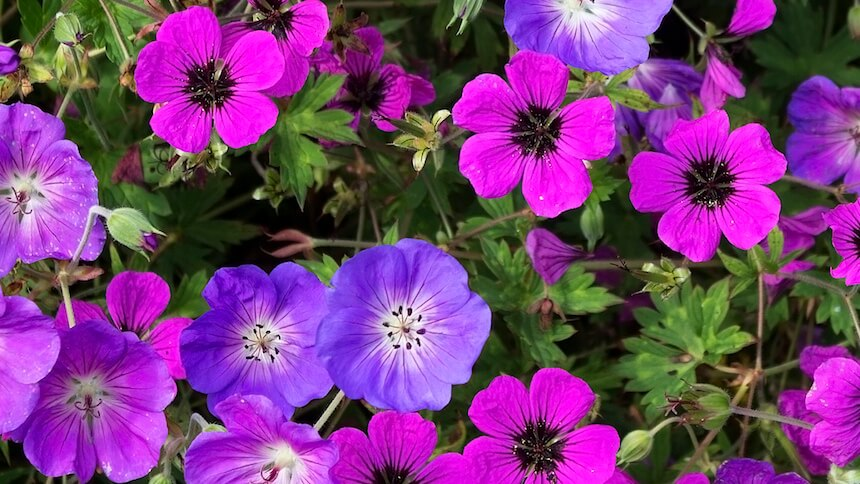 Geraniums are popular bedding plants