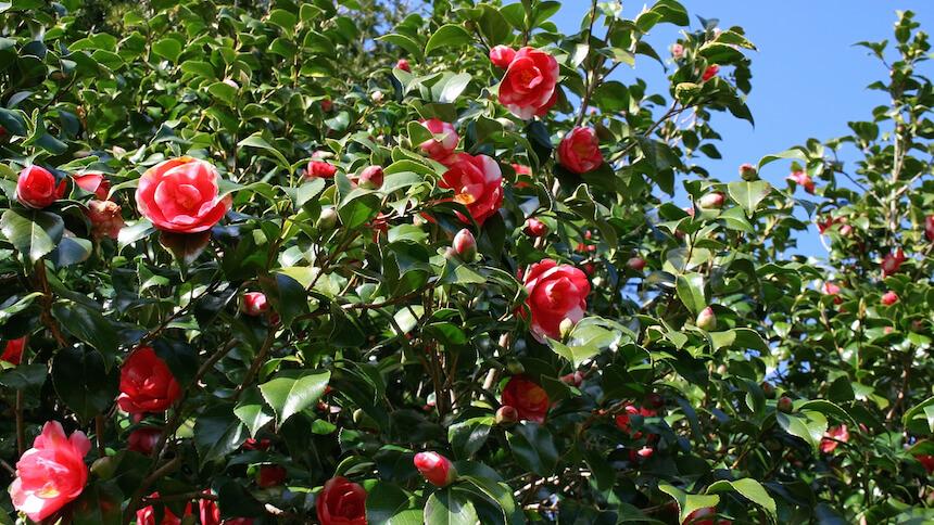 Camellia provides a beautiful splash of colour