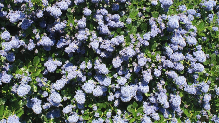Ceanothus produces a mass of stunning blue flowers