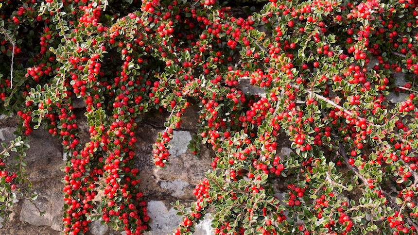 Cotoneasters are versatile evergreen shrubs