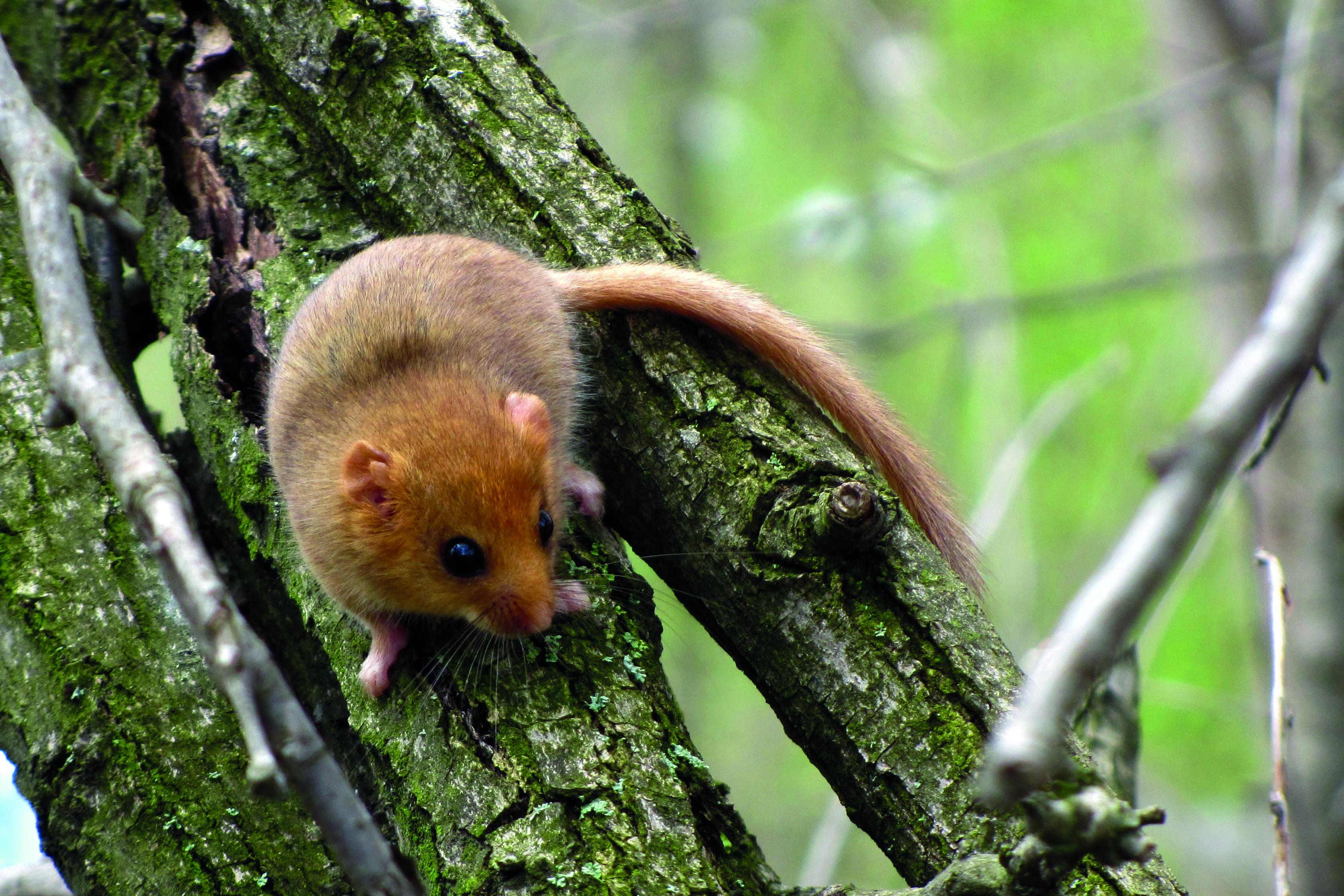 The British Dormouse