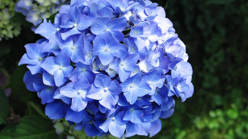 Hydrangeas have delicate heads of flowers
