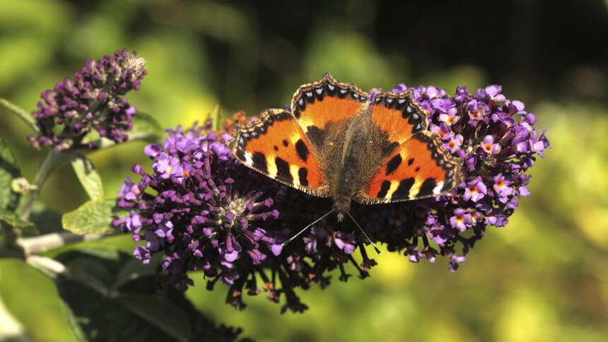 Butterflies in your garden