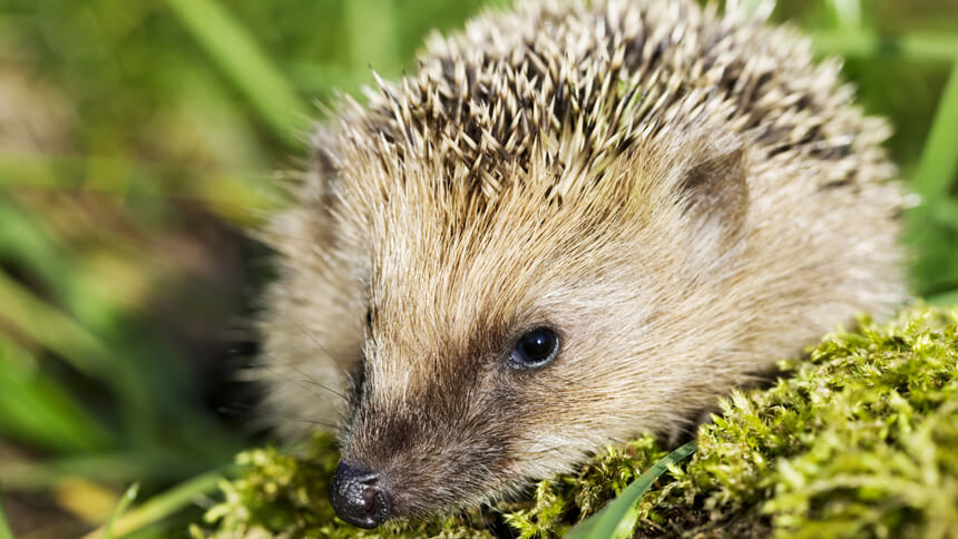 Hedgehogs eat snails, slugs and other pests