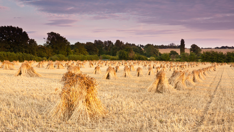 Wheat sheaves at harvest for thatching